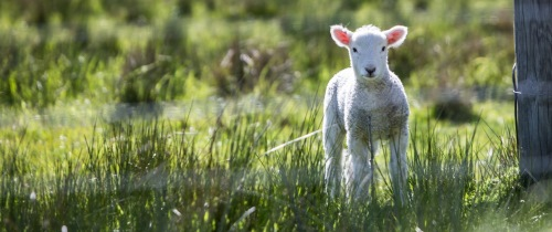 Lamb Unsplash Image