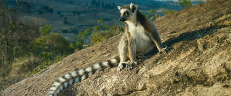 Island Of Lemurs 736